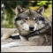 Rosewolf