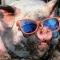 Mr_Pig_Smokes_Kush