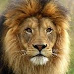 LionStud1984