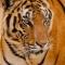 tiger69tri